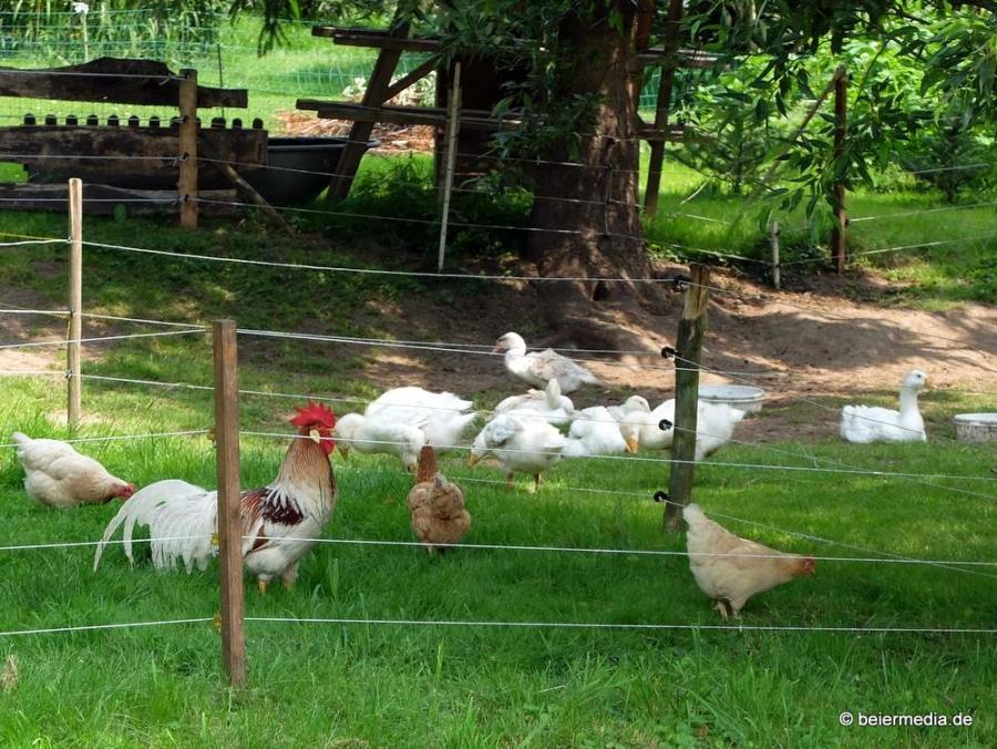 Foto: Der Hahn ist beruhigt: Alle Federvögel haben das Mühlbergfest überlebt.
