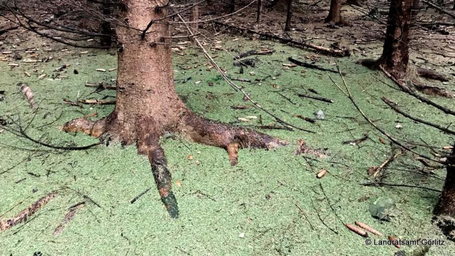 An vielen Stellen weist in den Wäldern des Landkreises Görlitz ein grüner Nadelteppich auf den Käferbefall hin