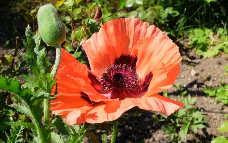 Allerorten blüht jetzt der Mohn in kräftigen rot-orangenen Tönen an den Feldrändern, abgebildet ist allerdings ein Ziermohn