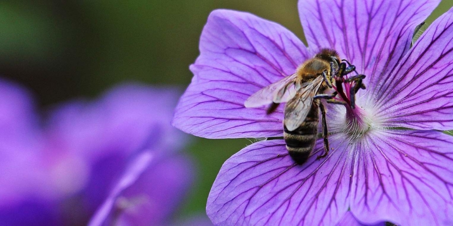 Eine Biene tankt an einer Storchenschnabelblüte auf